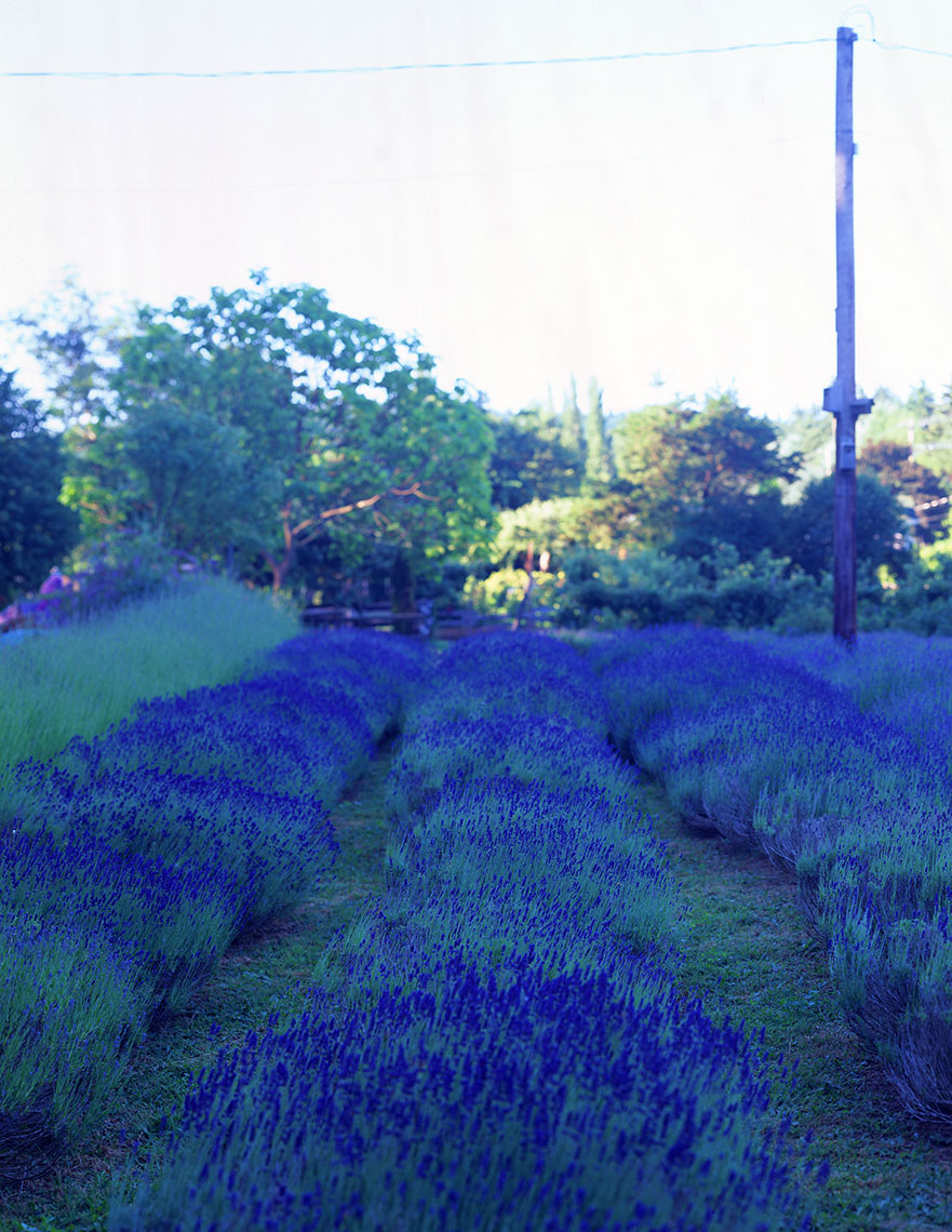 APF_Lavender field-full